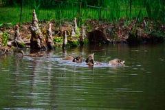 Gallina y jóvenes del pato silvestre Fotografía de archivo
