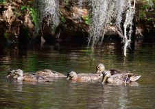Gallina y jóvenes del pato silvestre Imagenes de archivo