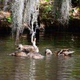 Gallina y jóvenes del pato silvestre Imagen de archivo libre de regalías