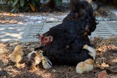 Gallina y pequeños polluelos fotografía de archivo libre de regalías