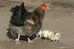 Gallina y pollos imagenes de archivo