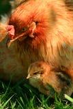 Gallina y polluelo de Araucana Imagen de archivo libre de regalías