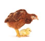 Gallina y polluelo de Brown imagenes de archivo