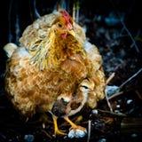 Gallina y polluelo de la madre fotos de archivo libres de regalías