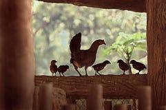 Gallina y polluelos Foto de archivo