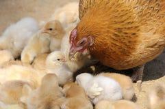Gallina y polluelos Imagen de archivo libre de regalías