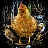 Gallina y polluelos Fotografía de archivo