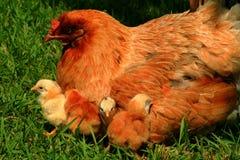 Gallina y polluelos de Araucana Imagen de archivo