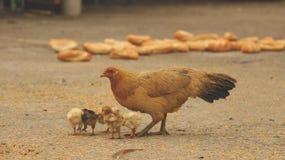 Gallina y polluelos que comen el arroz en la yarda concreta - jardín asiático fotos de archivo