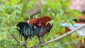 Gallinacei di giungla rossa che si appollaiano sul ramo di albero stock footage