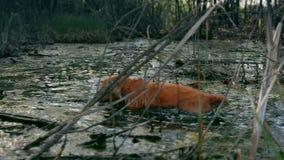 Gallinacei rossi di caccia del cane di cocker spaniel nell'acqua 4k della palude della palude video d archivio