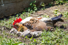 Gallinaceous family Stock Photography
