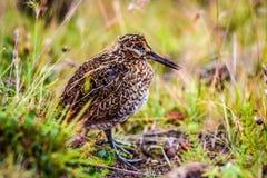 Gallinago的幼鸟坐在寻找食物的草甸 库存照片