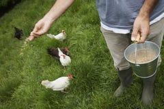 Gallinas de alimentación del hombre en prado Fotos de archivo libres de regalías