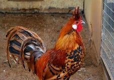 Gallinas en la yarda de una casa de gallina Imágenes de archivo libres de regalías