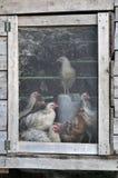 Gallinas en un aro del pollo Imagenes de archivo