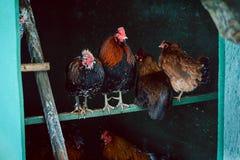 Gallinas en un tonel de pollo Imágenes de archivo libres de regalías