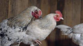 Gallinas manchadas jovenes en el gallinero de pollo almacen de video