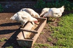 Gallinas que alimentan desde canal de madera en la yarda rural Pollos sucios blancos que comen granos fotos de archivo libres de regalías