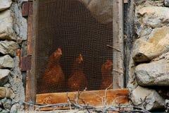 Gallinas que miran la casa de pollo exterior Imagen de archivo