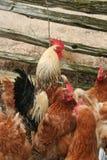 Gallinas y gallo Foto de archivo