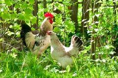 Gallinas y gallo Fotos de archivo