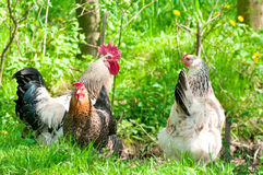 Gallinas y gallo Fotografía de archivo libre de regalías