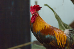 Gallinas y gallos Fotos de archivo libres de regalías
