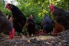Gallinas y gallos que rasguñan en el corral Imágenes de archivo libres de regalías