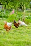 Gallinas y pollos Foto de archivo