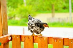 Gallinas y pollos Imágenes de archivo libres de regalías