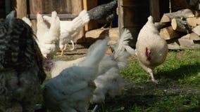 Gallinas y pollos en corral de la hierba verde almacen de video