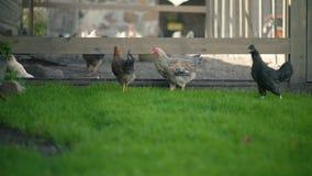 Gallinas y pollos en corral de la hierba verde almacen de metraje de vídeo