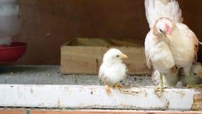 Gallinas y polluelos almacen de metraje de vídeo