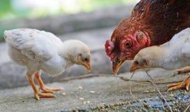 Gallinas y polluelos Fotos de archivo