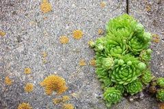 Gallinas y polluelos hermosos Houseleeks que crece en grietas en el cemento Fotos de archivo