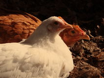 Galline al sole. Fotografia Stock