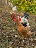 Galline e gallo Immagini Stock