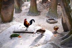 Galline e gallo con la passeggiata luminosa delle piume fra gli alberi immagini stock libere da diritti