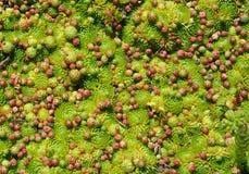Galline e pulcini Sempervivum Fotografia Stock Libera da Diritti