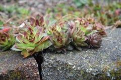 Galline e succulenti dei pulcini Fotografia Stock Libera da Diritti