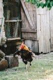 Galline nell'alimentazione del cortile Immagini Stock Libere da Diritti