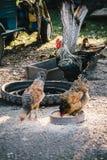 Galline nell'alimentazione del cortile Fotografia Stock Libera da Diritti