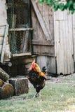 Galline nell'alimentazione del cortile Fotografie Stock
