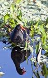 Gallinella d'acqua comune (chloropus del Gallinula) Fotografie Stock Libere da Diritti