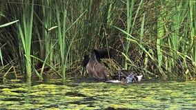 Gallinella d'acqua comune o gallinella d'acqua europea, chloropus del gallinula, pulcini sul nido, acerbo avendo bagno, stagno in archivi video