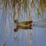 Gallinella d'acqua o pollo comune della palude, chloropus del gallinula Fotografia Stock