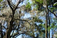 Gallineral树在一个公园在圣希尔,哥伦比亚 免版税库存照片