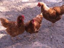 Gallinero de pollo Foto de archivo