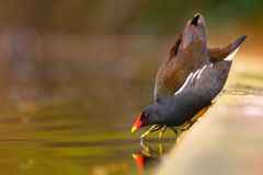 Gallinula chloropus. Bird taken with 300mm f4 L IS lens Royalty Free Stock Photo